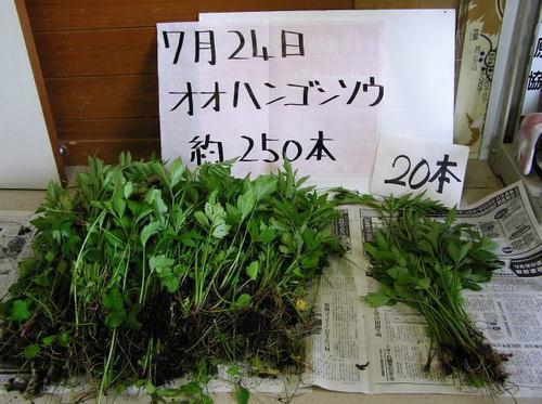 外来植物の除去